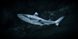 Shark. Grey reef shark swimming underwater against a dark background royalty free stock images