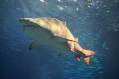 Shark. Swimming in an aquarium royalty free stock photography