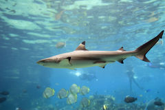 Shark. Blacktip Reef Shark (Carcharhinus melanopterus) swimming over reef, with skindivers in background Stock Image