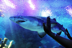 Shark. Visitors wave to sand tiger shark at an aquarium royalty free stock photos