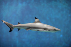 Shark. Beautiful shark swimming in blue sea Stock Images
