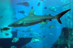 Shark. The shark in an aquarium. Dubai, Emirates Stock Image