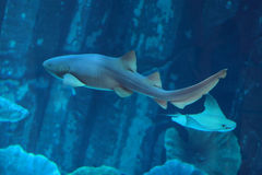 Shark. The shark in an aquarium. Dubai, Emirates Royalty Free Stock Photography