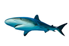 Shark. Caribbean Reef Shark (Carcharhinus perezii) on white background Royalty Free Stock Photos