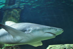 Shark 2 Royalty Free Stock Photos