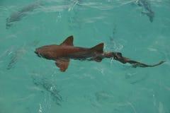 Shark. Swimming Stock Photos