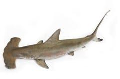 Shark. Isolated on white background Royalty Free Stock Image