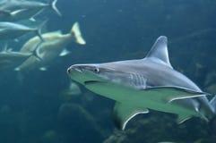 Shark Stock Image