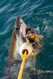 Shark. White shark eating, Dyer Island, South Africa stock image