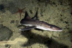 Free Shark Royalty Free Stock Photos - 2386698