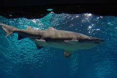 Shark. Big shark fish in the ocean royalty free stock photos