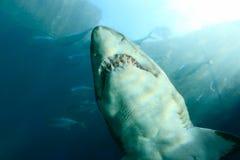 Shark Royalty Free Stock Image