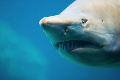 Shark. Dangerous teeth of a Zambezi shark Stock Photo