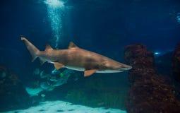 Shark. Underwater in natural aquarium Royalty Free Stock Photo