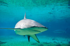 Shark Stock Photography