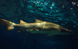 Shark. Submerged in dark blue water Royalty Free Stock Photo