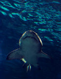 Shark. Bottom view of a sand tiger shark in clear blue water royalty free stock photos