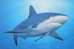 Shark and its baby Royalty Free Stock Photo