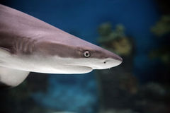 Shark. The small shark floats near a bottom Stock Photography