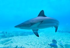 Shark. A shark and some reef fish found in the Great Baarrier Reef, off Yeppoon, Queensland Royalty Free Stock Photos