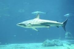 Shark. Attacking Shark in th deep blue sea Royalty Free Stock Photos