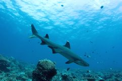 Shark. On the reef. Diving. Sipadan Island Royalty Free Stock Photos
