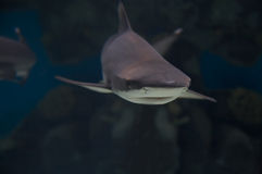 Shark. Royalty Free Stock Images