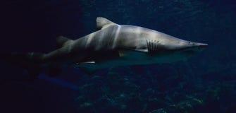 Free Shark Stock Photography - 54569402