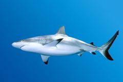 Shark. Grey Reef Shark swimming in blue water Stock Photography