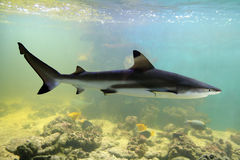 Shark. Swimming shark underwater in aquarium stock photography