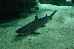Shark. In aquarium Royalty Free Stock Photo