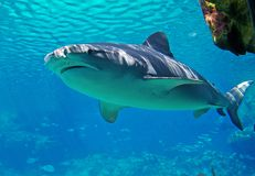 Shark. A Bull Shark swimming past a underwater ledge stock images