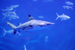 Shark. A shark swims in blue water stock images