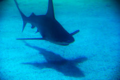 Shark. A shark under water, Eilat, Israel Royalty Free Stock Image