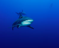 Shark approach Stock Photography