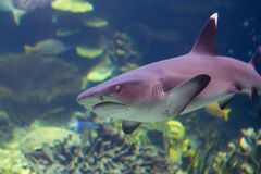 Shark approaching underwater Royalty Free Stock Image