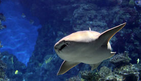 Shark in aquarium Stock Image