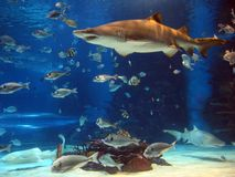 Shark in aquarium. In aquarium tank shark and other fish swimming stock photo