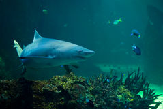 Shark in an aquarium royalty free stock photo