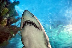 Shark in the aquarium. Against blue background Royalty Free Stock Photography