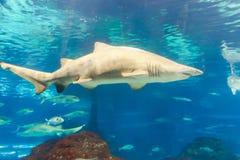 Shark at Aquarium of Barcelona. Underwater life L`Aquarium de Barcelona or Aquarium of Barcelona - Spain Royalty Free Stock Photo