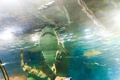 Shark at Aquarium of Barcelona. Underwater life L`Aquarium de Barcelona or Aquarium of Barcelona - Spain Stock Images