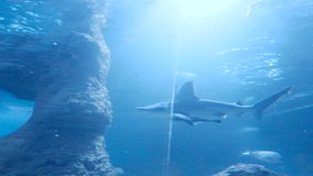 Shark in an aquarium. 4k resolution stock footage