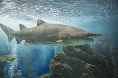 Shark in an aquarium Stock Photography