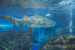 Shark in an aquarium Stock Photos