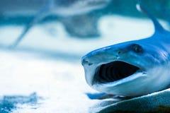 Shark in an aquarium. Predatory sharks in the aquarium in search of food Stock Image