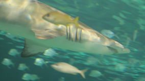 Shark in Aquarium. Sharks in Aquarium. Marine life stock video