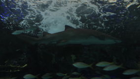 Shark in Aquarium stock video footage