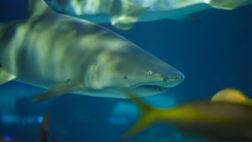 Shark in Aquarium. Sharks in Aquarium. Marine life stock footage
