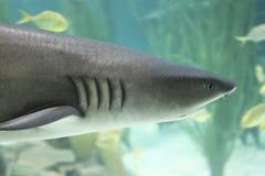 Shark in the aquarium Stock Image
